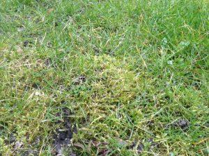 mos i græs